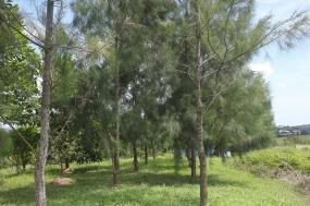 Two rows of casuarina trees.
