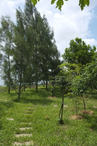 The tall Casuarina trees (left) provide wind and sun protection for the other trees (right).